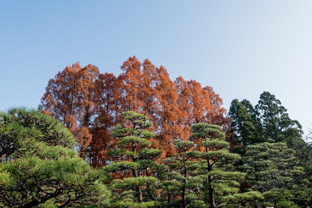 45神代植物公園【メタセコイア】1