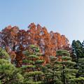 Photos: 45神代植物公園【メタセコイア】1