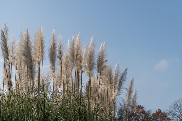Photos: 44神代植物公園【パンパスグラス】2