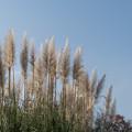 44神代植物公園【パンパスグラス】2