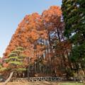 46神代植物公園【メタセコイア】2