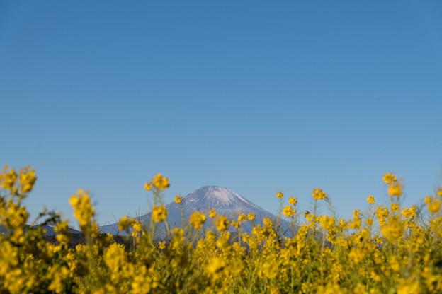 04吾妻山公園【菜の花畑と富士山】1
