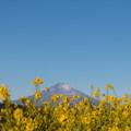 Photos: 04吾妻山公園【菜の花畑と富士山】1
