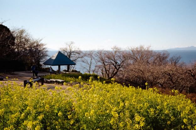 08吾妻山公園【菜の花畑と相模湾】3銀塩NLP