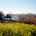 Photos: 08吾妻山公園【菜の花畑と相模湾】3銀塩NLP