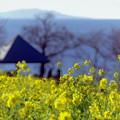 09吾妻山公園【菜の花畑のアップ】1銀塩