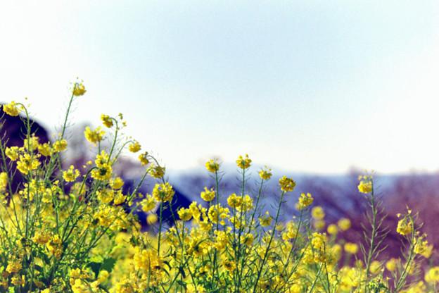 10吾妻山公園【菜の花畑のアップ】2銀塩