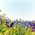Photos: 10吾妻山公園【菜の花畑のアップ】2銀塩