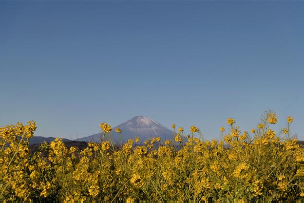Photos: 05吾妻山公園【菜の花畑と富士山(フォーカスシフト撮影)】2