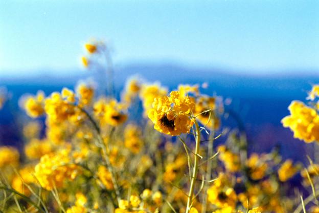 11吾妻山公園【菜の花畑のアップ】3銀塩NLP