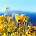 Photos: 11吾妻山公園【菜の花畑のアップ】3銀塩NLP