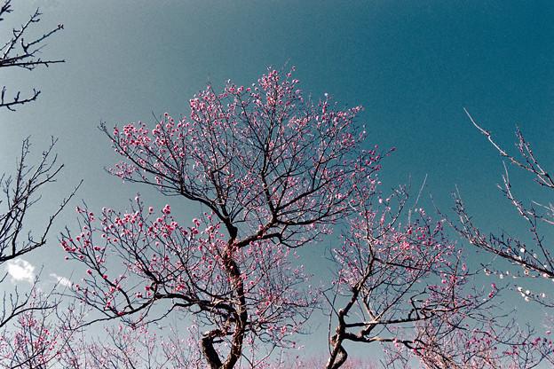 07小田原フラワーガーデン【紅梅:八重寒紅】1銀塩NLP