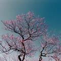 Photos: 07小田原フラワーガーデン【紅梅:八重寒紅】1銀塩NLP