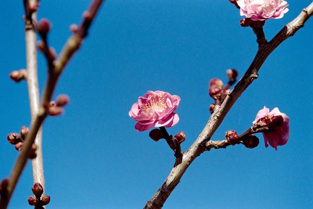 11小田原フラワーガーデン【紅梅:八重寒紅】5銀塩NLP
