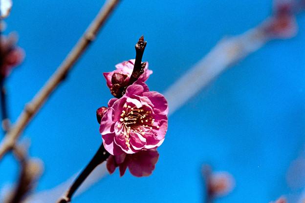12小田原フラワーガーデン【紅梅:八重寒紅】6銀塩NLP