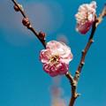 Photos: 10小田原フラワーガーデン【紅梅:八重寒紅】4銀塩NLP