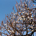 Photos: 10府中市郷土の森【梅の花:八重野梅】2銀塩NLP