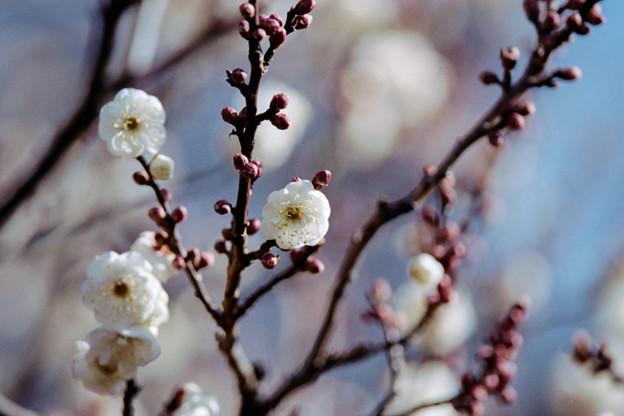 11府中市郷土の森【梅の花:八重野梅】3銀塩NLP