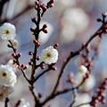 Photos: 11府中市郷土の森【梅の花:八重野梅】3銀塩NLP