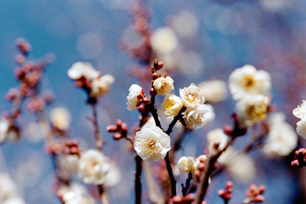 12府中市郷土の森【梅の花:八重野梅】4銀塩NLP
