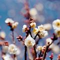 Photos: 12府中市郷土の森【梅の花:八重野梅】4銀塩NLP
