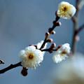 13府中市郷土の森【梅の花:八重野梅】5銀塩NLP