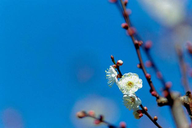 14府中市郷土の森【梅の花:八重野梅】6銀塩
