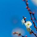 Photos: 14府中市郷土の森【梅の花:八重野梅】6銀塩