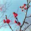 16府中市郷土の森【梅の花:八重寒紅】2銀塩
