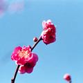 18府中市郷土の森【梅の花:八重寒紅】4銀塩NLP