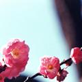 Photos: 19府中市郷土の森【梅の花:八重寒紅】5銀塩NLP