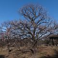 Photos: 09府中市郷土の森【梅の花:八重野梅】1