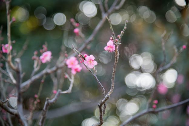 22府中市郷土の森【梅の花:佐橋紅】3