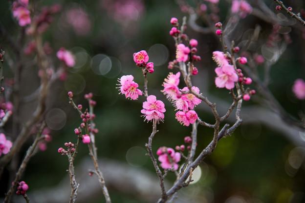 23府中市郷土の森【梅の花:佐橋紅】4