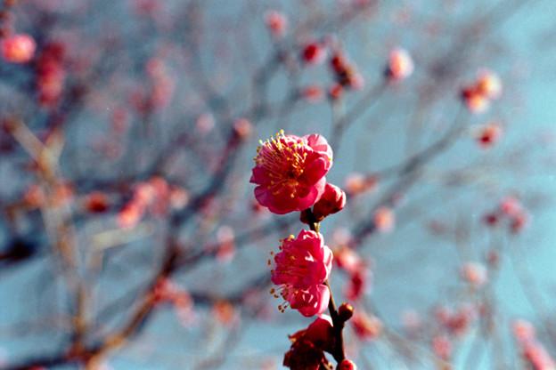 17府中市郷土の森【梅の花:八重寒紅】3銀塩NLP