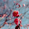 Photos: 17府中市郷土の森【梅の花:八重寒紅】3銀塩NLP