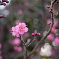 24府中市郷土の森【梅の花:佐橋紅】5