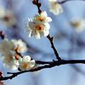 27府中市郷土の森【梅の花:野梅】2銀塩