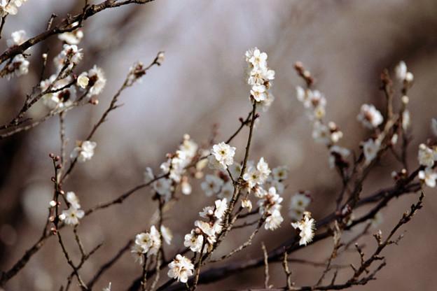 Photos: 26府中市郷土の森【梅の花:野梅】1銀塩NLP
