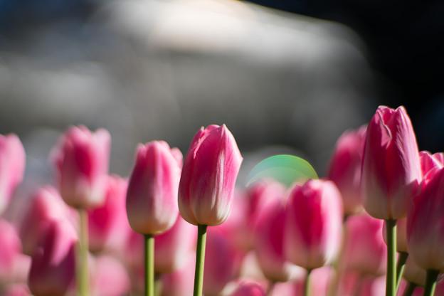 26サムエル・コッキング苑【ウインターチューリップ(ピンク系)】7 - コピー