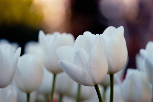 19サムエル・コッキング苑【ウインターチューリップ(白系)】7銀塩NLP