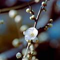 49大船FC【梅の花:大輪緑萼】3銀塩NLP