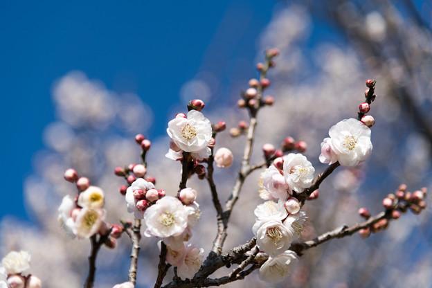 07小田原フラワーガーデン【梅:淡路】5
