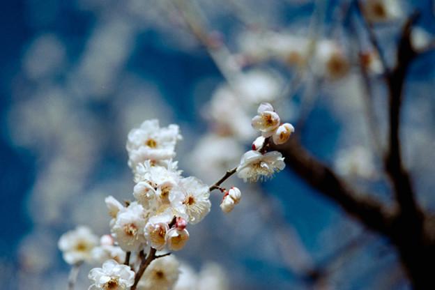 08小田原フラワーガーデン【梅淡路】6銀塩NLP