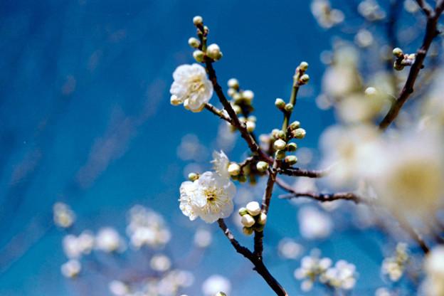 20小田原フラワーガーデン【梅:一重緑萼】4銀塩NLP