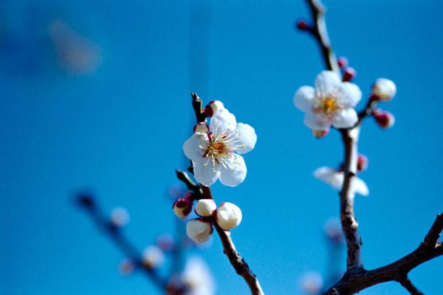 30小田原フラワーガーデン【梅:十郎】7銀塩NLP