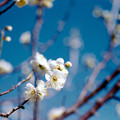 Photos: 40小田原フラワーガーデン【梅:月影】3銀塩NLP