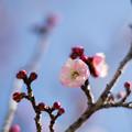 Photos: 45小田原フラワーガーデン【梅:浮牡丹】2