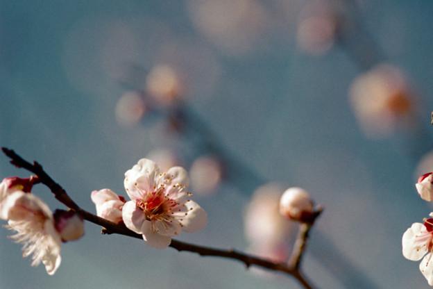 50小田原フラワーガーデン【梅:錦性雪灯篭】1銀塩NLP