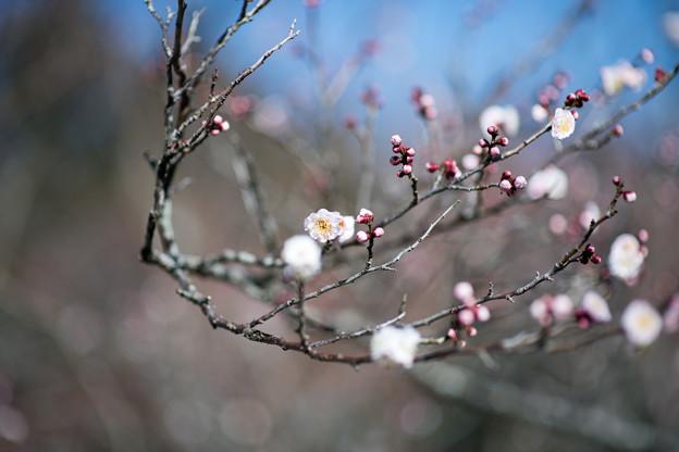 62小田原フラワーガーデン【梅:花香美】1